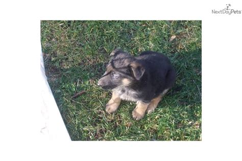 puppies for sale hudson valley ny german shepherds for sale browse german shepherd dogs breeds picture