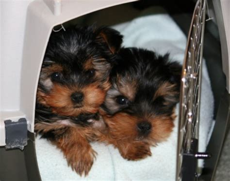 free puppies for adoption two free teacup yorkie puppies for free adoption auto design tech