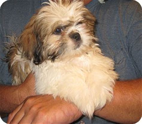 shih tzu pekingese mix information rocky adopted puppy westport ct shih tzu pekingese mix