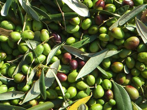 which olive is best olive why fresh is best il palazzone