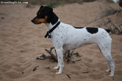 A photo of a 1 year old old, Tricolor of Black, Brazilian ...