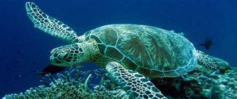 Turtle Sea the caretta caretta sea turtles in greece omilo
