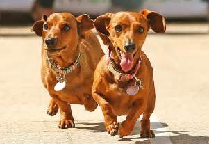 sausage dogs 14 things you only if you own a sausage aka dachshund metro news