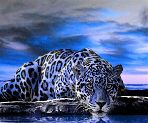 blue jaguar cat wallpaper  sphinxlars    zedge
