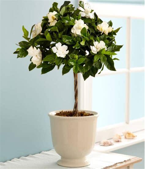 growing gardenias  pots gardenia tree care