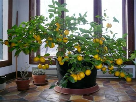 indoor lemon tree indoor indoor lemon tree indoor decoration small trees for shade front yard trees