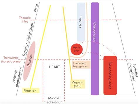 superior sections ltd the superior mediastinum borders contents teachmeanatomy