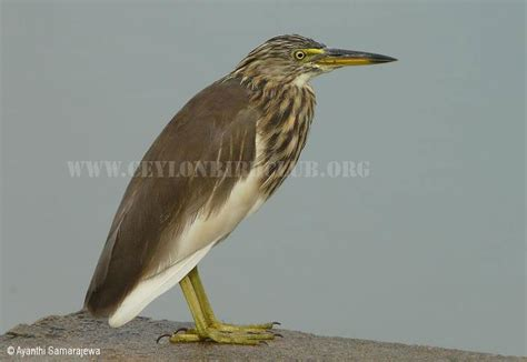 Search In India By Names Ceylon Bird Club Birds Of Sri Lanka Sri Lankan Birds Endemic Birds Of Sri Lanka