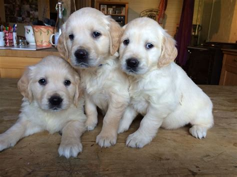 large golden retriever breeders golden retriever puppy for sale canterbury kent pets4homes