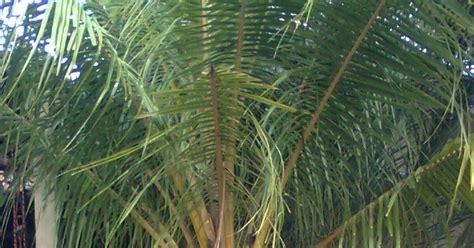 Biji Benih Tanaman Hias Pohon Palem Putri pohon kelapa kuning pohon pelindung pohon palem merah palem raja green