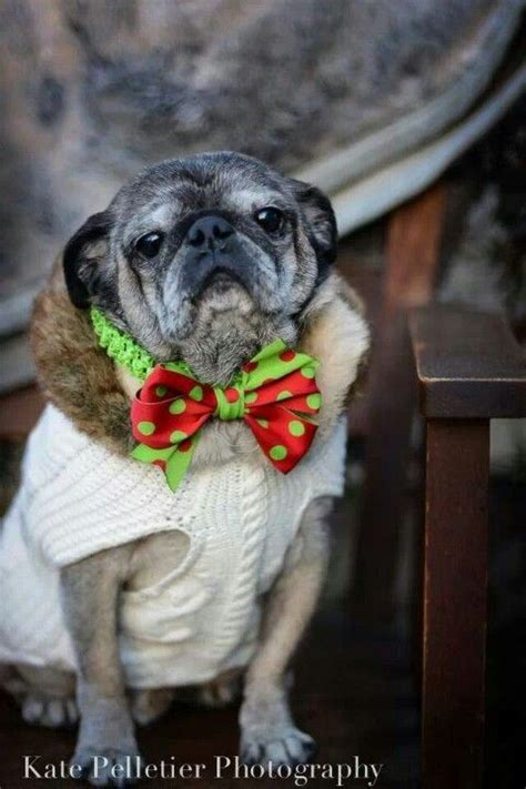 pug 13 of the world s most gentle breeds mnn nature network 17 best images about pug clothes and costumes on apple costume