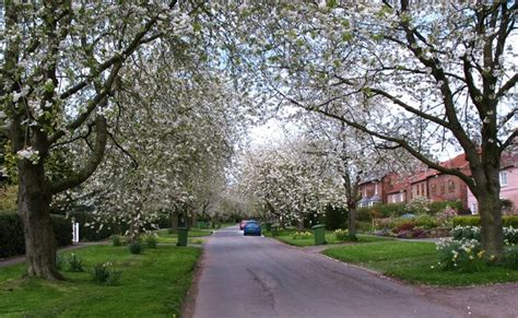 cherry tree 4th ave cherry tree avenue newton on ouse 169 gordon hatton cc by sa 2 0 geograph britain and ireland