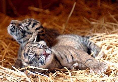 two of a kind: newborn tiger cubs wake up to the world