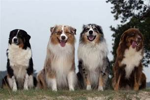 shepherd color get to the australian shepherd breed our dogs