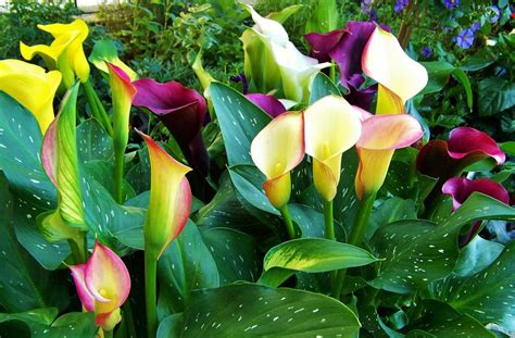 imagenes de flores calas image gallery imagenes de flores gratis