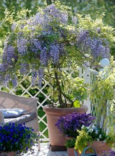 1000 images about wisteria tree on pinterest wisteria