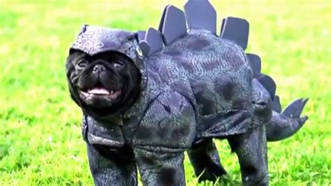 pug in costume pug costume compilation