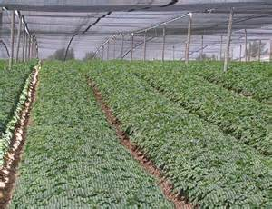growing ginseng specialty cropportunities ginseng