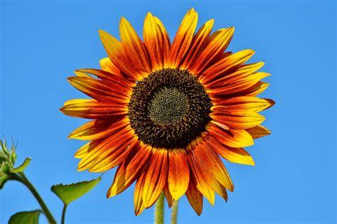 imagenes girasoles hermosos 17 flores hd girasoles y paisajes hermosos gratis