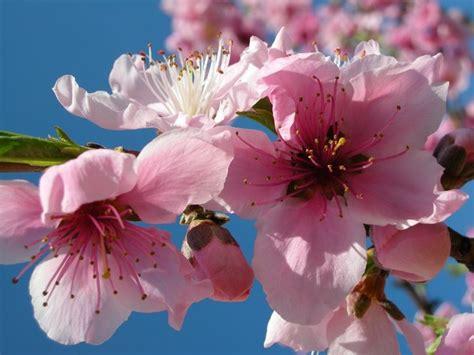 fiori pesco albero di pesco alberi da frutto albero di pesco frutto