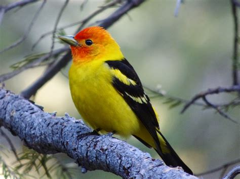 geotripper s california birds bird of the day western