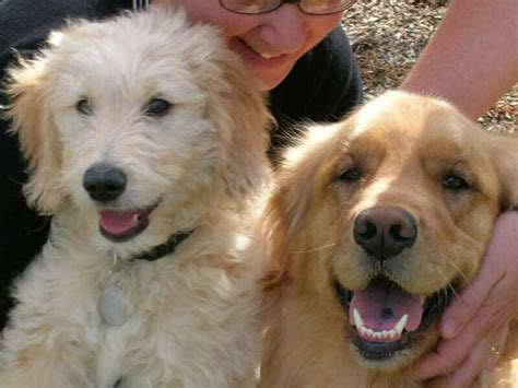 golden retriever coat stages 51 best images about scout on coats poodles