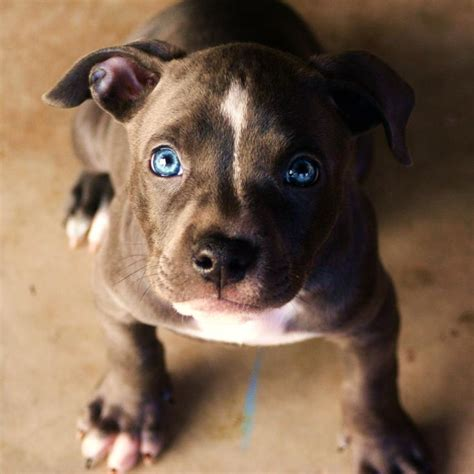 blue eyed pitbull puppies 1000 ideas about pit bull puppies on american staffordshire terriers