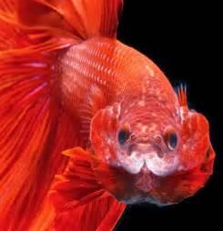 All about betta fish: Blood red halfmoon betta fish flaring