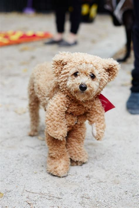 where to buy puppies in nyc 25 best costumes ideas on