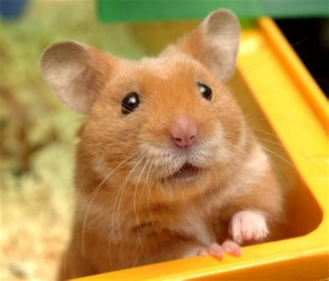 hamster with chant du d 233 part smitty s hamsters