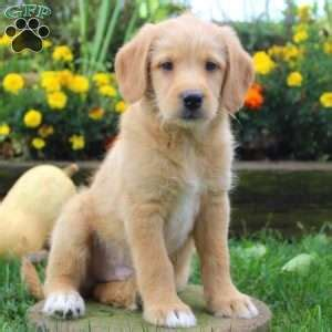 golden retriever mix puppies for sale in pa golden retriever mix puppies for sale greenfield puppies