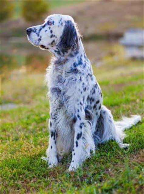 miss ali english setter dog breeds σεττερ pixwords λύσεις απαντήσεις