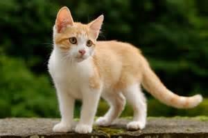 Golden_tabby_and_white_<strong>kitten</strong>_n01.jpg