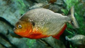 New York House by Man Admits Smuggling Nearly 40 000 Piranhas To Nyc Nbc