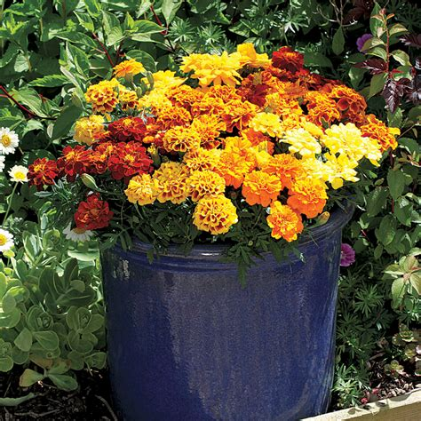 new year marigold flower your squashes best friends official of park seed