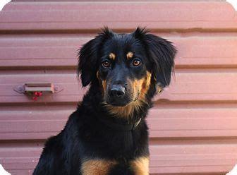 golden retriever costa rica 17 best ideas about golden retriever mix on dachshund mix golden husky