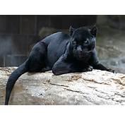 Description Jaguarjpg