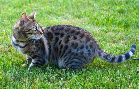 backyard cat file female bengal cat outdoor jpg wikimedia commons
