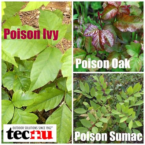 identify poison ivy leaves 17 best ideas about poison ivy rash pictures on pinterest