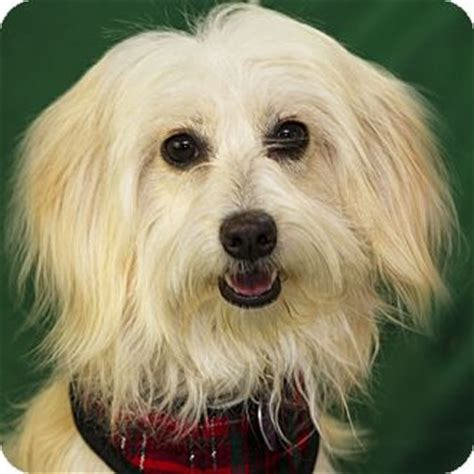 golden retriever maltese mix maltese golden retriever mix for adoption in costa mesa california