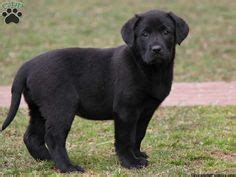 black lab puppies for sale in md a half lab half great dane mix cuteness we cutest puppy and the o jays