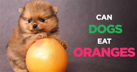 can dogs eat lemons can dogs eat fruit like oranges watermelon cherries pears papaya and lemons