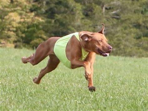 rhodesian ridgeback puppies ohio akc puppies for sale akc marketplace