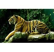 Wallpapers Tiger Desktop And Backgrounds