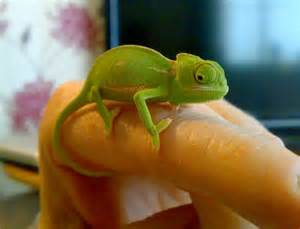Baby veiled chameleons m f for sale reptiles for sale with free