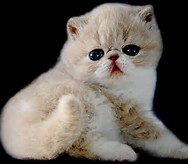 Exotic Shorthair Cat Breed