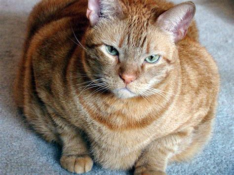Sho Kucing More More Cat Medicinal Sho 200 Ml obesity in cats loah