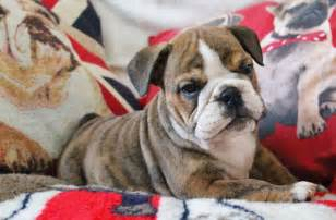Years ago for sale dogs english bulldog southminster