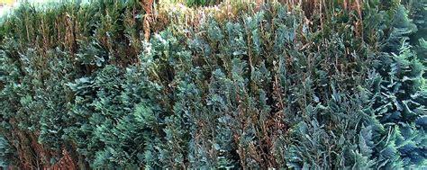 eibe schneiden wann eibenhecke pflanzen eibenhecke taxus baccata 20 25 cm 3