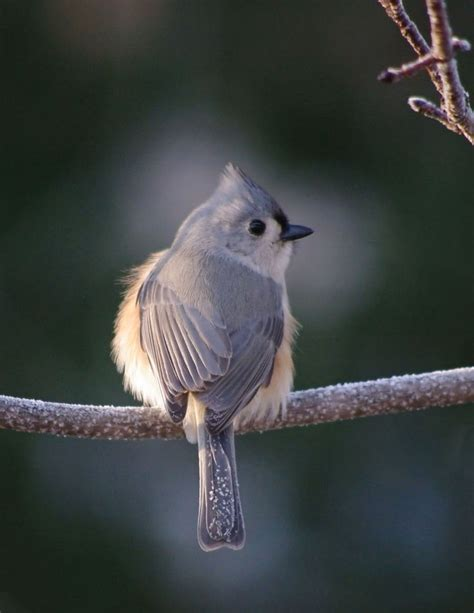 backyard bird watch 91 best images about adorable tufted titmouse on pinterest